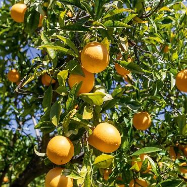 Nur 1.000 Gläser im Jahr: Pomeranzenmarmelade aus Sóller