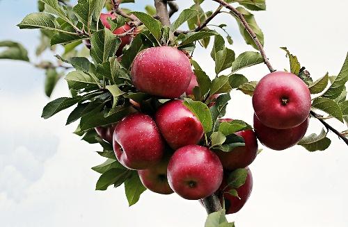 Alles zum Thema Apfel